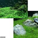 (水草)グロッソスティグマ(水中葉)(無農薬)(1)+ヘアーグラス ショート(無農薬)(2) 北海道航空便要保温