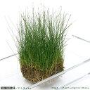 (水草)ヘアーグラス ショート(水上葉)土付き(30cm水槽用)(無農薬)(1シート分)