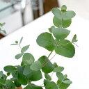 (観葉植物)ユーカリ グニー 3~3.5号(1ポット)