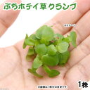 (水草)ぷちホテイ草(無農薬)(1株) 金魚 メダカ 北海道航空便要保温