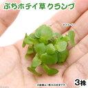 (水草)ぷちホテイ草(無農薬)(3株) 金魚 メダカ 北海道航空便要保温