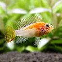 (熱帯魚)アピストグラマ・マクマステリ ゴールド メス(1ペア) 北海道・九州航空便要保温