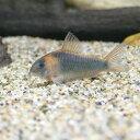 (熱帯魚)コリドラス・スーパーエクエス(ワイルド)(3匹)