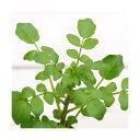 (ビオトープ/水辺植物)クレソン(1ポット)...