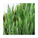 (観葉植物)ペットグラス 燕麦 直径8cmECOポット植え(無農薬)(1ポット)