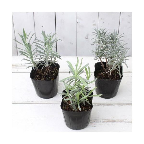 (観葉植物)ハーブ苗 ラベンダー ラバンディン系...の商品画像