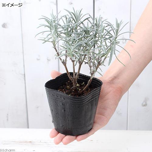 (観葉植物)ハーブ苗 ラベンダー ラバンディン...の紹介画像2