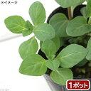 (観葉植物)ハーブ苗 ニホンハッカ まんよう 3号(1ポット)家庭菜園