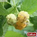 (観葉植物)果樹苗 ラズベリー ファールゴールド 3〜4号(1ポット) 家庭菜園