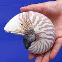 RoomClip商品情報 - (海水魚 貝殻)シェルコレクション オウムガイ(1個)