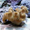 (海水魚 サンゴ)沖縄産 オオウミキノコ Mサイズ(1個) 北海道・九州航空便要保温
