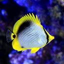 (海水魚)沖縄産 アケボノチョウチョウウオ(1匹)...