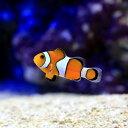 (海水魚)沖縄産 カクレクマノミ Sサイズ(ワイルド)(1匹) 北海道・九州航空便要保温
