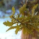 (海水魚 海藻)ライフマルチ ホンダワラ 種類おまかせ(1個) 北海道航空便要保温
