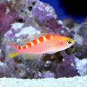 (海水魚)バリ産 アサヒハナゴイ(1匹)