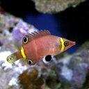 (海水魚)ハシナガベラ(1匹)