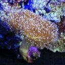 (海水魚 サンゴ)沖縄産 ウミキノコ ロングポリプ Mサイズ(1個)