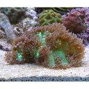 (海水魚 サンゴ)トランペットコーラル グリーン(1個) 北...