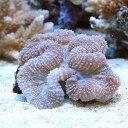 (海水魚 サンゴ)ハナガタサンゴ ブレインタイプ おまかせカラー SMサイズ(1個) 北海道航空便要保温