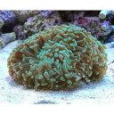 (海水魚 サンゴ)ナガレハナサンゴ グリーン Mサイズ(ワイルド)(1個) 北海道航空便要保温