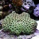 (海水魚 サンゴ)キクメイシ グリーン Mサイズ(1個) 北...
