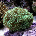 (海水魚 サンゴ)ツツマルハナサンゴ グリーン(ワイルド)(1個) 北海道航空便要保温