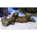 (海水魚 サンゴ)沖縄産 マメスナギンチャク ブランチ おまかせカラー Mサイズ(1個)