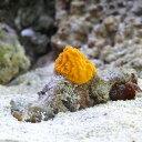 (海水魚 無脊椎)沖縄産 オレンジスポンジ SSサイズ(1個) 北海道航空便要保温