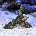 (海水魚 サンゴ)沖縄産 マメスナギンチャク ブランチ おまかせカラー SSサイズ(1個)