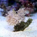 (海水魚 サンゴ)沖縄産 ウミアザミ ホワイト Sサイズ(1個) 北海道・九州航空便要保温