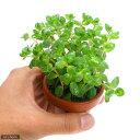 (水草)素焼き鉢 ロタラ ロトンディフォリア(水上葉)(無農薬)(1鉢) 北海道航空便要保温