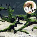 (水草)巻きたて 南米ウィローモス 枝状流木 Mサイズ(約20cm~)(無農薬)(1本)