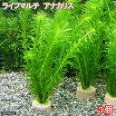 (水草)メダカ・金魚藻 ライフマルチ(茶) アナカリス(3個) 北海道航空便要保温