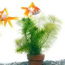 (水草 熱帯魚)メダカ・金魚藻 ミニ寄植え鉢(無農薬)(1鉢) 北海道航空便要保温