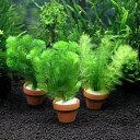 (水草 熱帯魚)メダカ・金魚藻 ミニ寄植え鉢(無農薬)(3鉢) 北海道航空便要保温