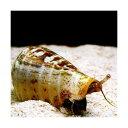 C.P.Farm直送(海水魚 貝)石垣島産 マガキガイ 殻長約5〜6cm 1個体(0.08個口相当)別途送料 海水 クリーナー