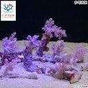 C.P.Farm直送 おまかせミニミニ スジチヂミトサカ パープル (0.08個口相当)別途送料 海水 サンゴ