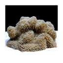 C.P.Farm直送 石垣島産 ハタゴイソギンチャク 約20〜25cm(0.6個口相当)別途送料 海水 無脊椎 お一人様1点限り