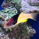 (海水魚)ケサガケベラ MLサイズ(1匹)