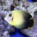 (海水魚)クログチニザ ナメラタイプ(1匹) 北海道・九州・...