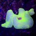 (海水魚 無脊椎)イボハタゴイソギンチャク ライトグリーン Mサイズ(1匹)