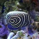 (海水魚 ヤッコ)スリランカ産 ウズマキヤッコ Mサイズ(1...