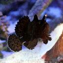 (海水魚)カエルアンコウ ブラック Sサイズ(1匹) 北海道航空便要保温