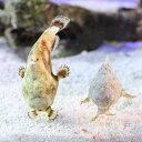 (海水魚)カエルアンコウモドキ ミックスカラー(1匹) 北海道・九州・沖縄航空便要保温