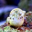 (海水魚 ヤドカリ)沖縄産 シロサンゴヤドカリ(1匹)