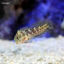(海水魚)モリーミラー(1匹)