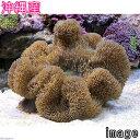 (海水魚 無脊椎)沖縄産 ハタゴイソギンチャク ミックスカラー Lサイズ(1匹) 北海道航空便要保温