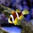(海水魚)ナミクマノミ(国産ブリード)(1匹)
