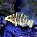 (海水魚)ヤシャベラ(1匹)