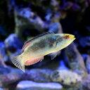 (海水魚)トモシビイトヒキベラ(1匹)